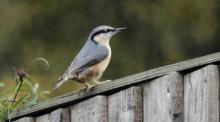 Nuthatch sitting on the fence